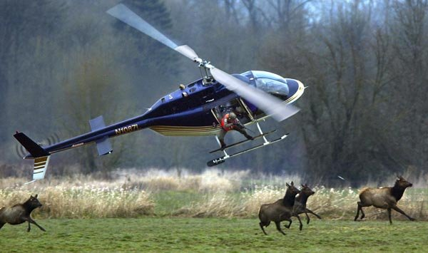 helicopter hog hunts with Hunting Elk From A Helicopter on Watch also extremebowfishing also Dallas Feral Hogs Are In Your Backyard further Mainpage furthermore Tim Love Texas Eating And Drinking  mandments.