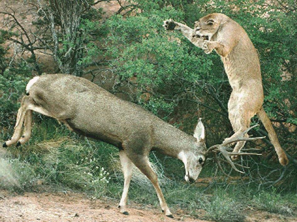 Mountain Lion Attacking a Mule Deer | Hunting