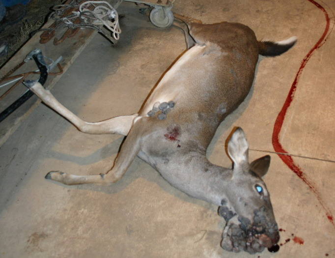 Deer Papillomavirus Pictures of deer deformities
