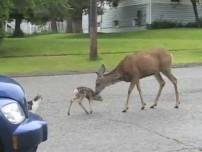 Animal Fight Deer Vs. Dog
