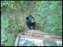 Bear Climbs