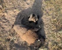 Bear vs Buffalo: What happend here?