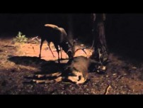 Buck Attacking