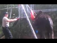 Bull Moose freed from swingset