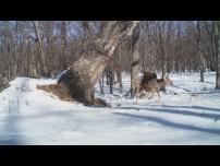Eagle Destroys Fleeing Deer