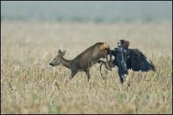 Eagle-vs-Deer