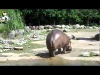 Hippo gets explosive diarrhea!