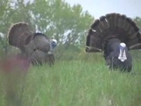 Turkey Hunt video