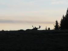 Moose While Elk Hunting