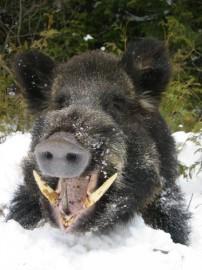 More dangerous than bear?