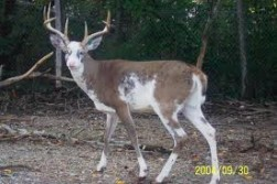 Nice piebald buck!