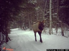 The Strangest Elk I've Seen