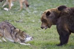 Wolf vs bear.