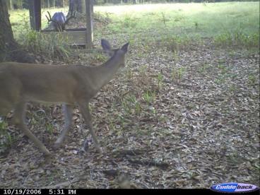Alabama Buck