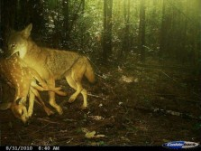 Coyote Kills Fawn