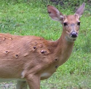 Pictures of Deer Deformities