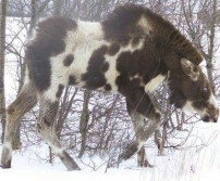Piebald Moose...AWESOME!!!