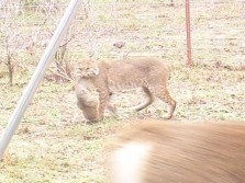 What does this big bobcat have?