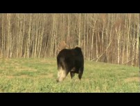 Arrowed a moose in the open
