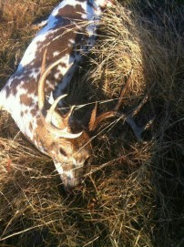 Beautiful Piebald Buck
