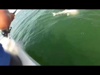 Goliath Grouper Eats four Foot Shark