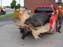 Huge Quebec Bull Moose