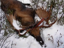 late season november moose hunt in alberta mountain zone, november 16, 2007