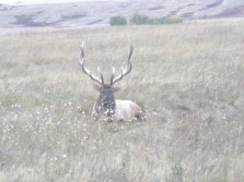 muzzle loading for muledeer