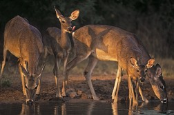 Whitetails at waterhole