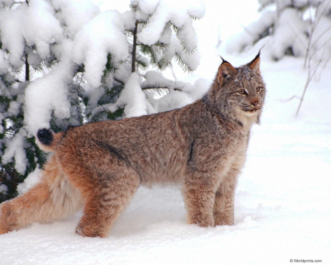 Big Cat That Looks Like A Bobcat