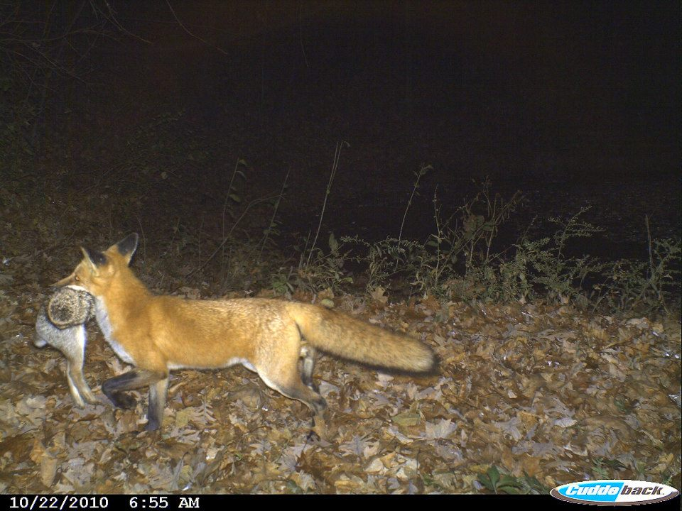 Fox Holding His Kill From Friends Trail Cam Wisconsin