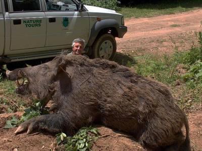 Giant Wild Boar Shot in Conroe, Texas, Texas   Hunting