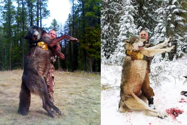 Two World Record Wolves Hunting