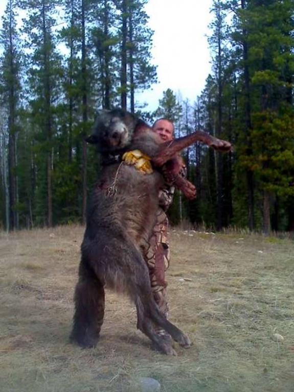 World Record Wolf, Alberta | Hunting
