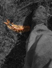 1 Ft Centipede