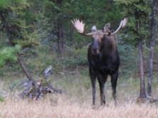 Wish I had a moose tag.