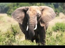 Africa's Big 6-Elephant