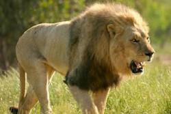 Africa's Big 6- Lion