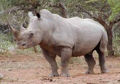 Africa's Big 6- White Rhinoceros