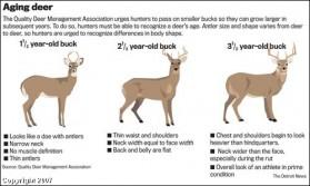 Aging Deer