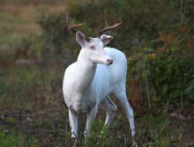 Albino Buck of My Dreams