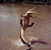 Alligators Can Jump?