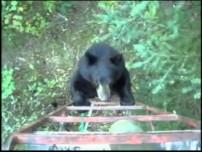 Bear Climbs Hunters Tree Stand