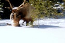 Big Cat vs Bull Elk