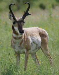big pronghorn hunt