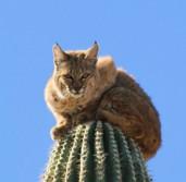 Bobcat Climbed a Cactus?