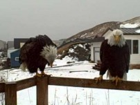 Bold ass bald eagles