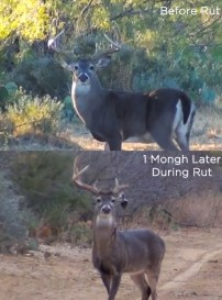Buck Meets His Match: Photo Before & During Rut
