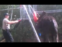 Bull Moose freed from swingset