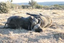 Cape Buffalo Locked Up